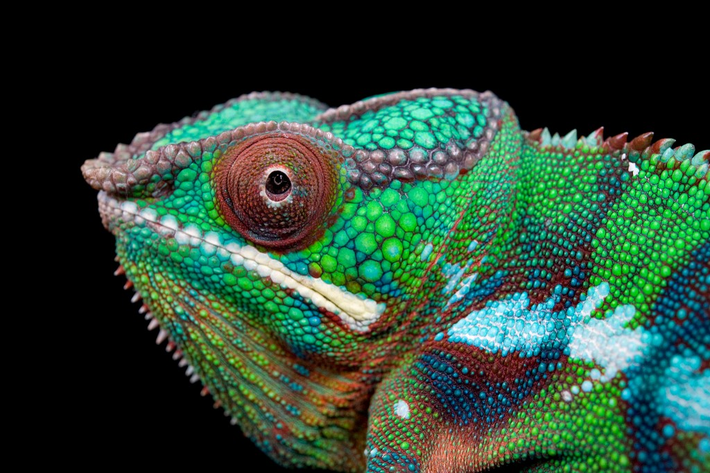 Panther chameleon at the Lincoln Children's Zoo